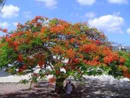 Flammenbaum Flamboyant Tree
