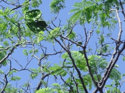 Guanacaste Elephant Ear National tree of Costa Rica